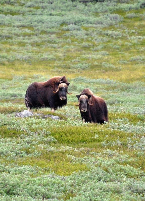 Moschusochsen um Kangerlussuaq
