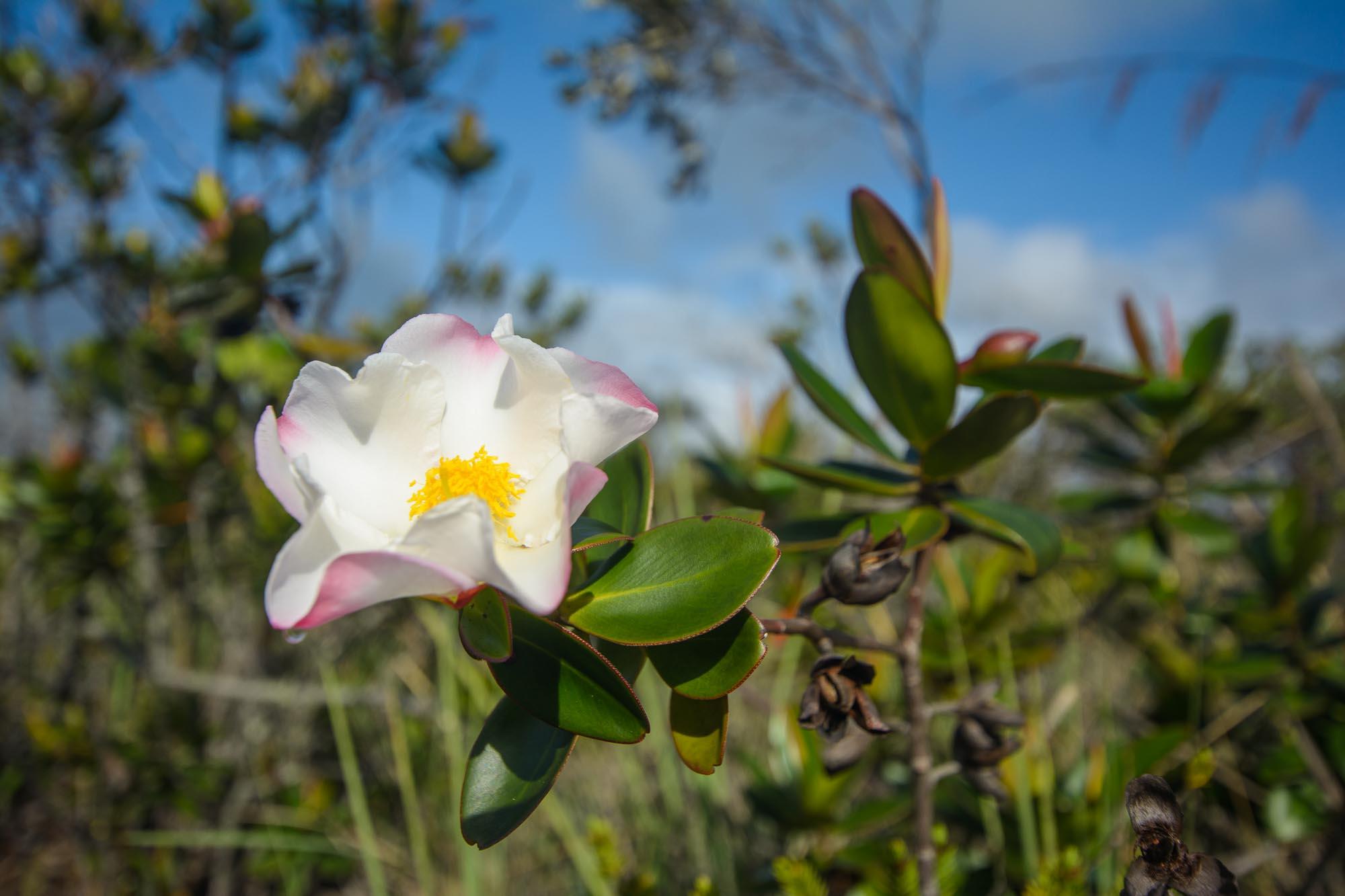 Blume in der Gran Sabana