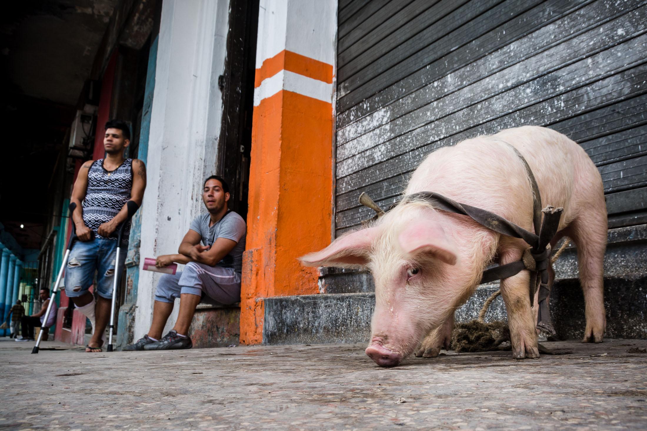 Schwein in Havanna